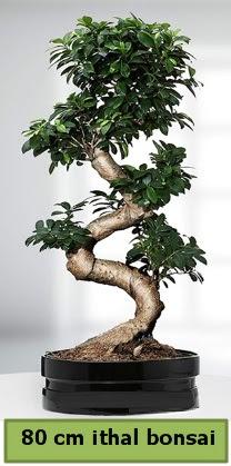 80 cm özel saksıda bonsai bitkisi  Ordu çiçek yolla