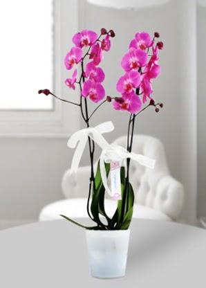 Çift dallı mor orkide  Ordu çiçek siparişi sitesi
