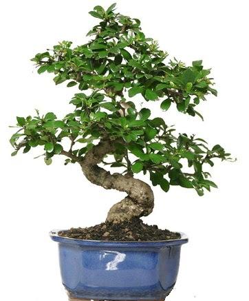 21 ile 25 cm arası özel S bonsai japon ağacı  Ordu çiçek yolla
