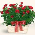 Ordu online çiçekçi , çiçek siparişi  11 adet kirmizi gül sepette