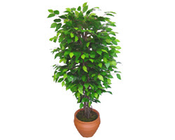 Ficus Benjamin 1,50 cm   Ordu uluslararası çiçek gönderme