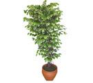 Ficus özel Starlight 1,75 cm   Ordu çiçek siparişi vermek