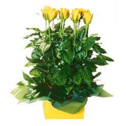 11 adet sari gül aranjmani  Ordu güvenli kaliteli hızlı çiçek