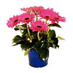 vazo içerisinde gerbera çiçekleri   Ordu internetten çiçek siparişi