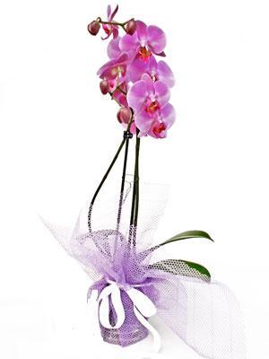 Ordu uluslararası çiçek gönderme  Kaliteli ithal saksida orkide