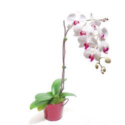 Ordu çiçek gönderme sitemiz güvenlidir  Saksida orkide