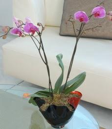 Ordu ucuz çiçek gönder  tek dal ikili orkide saksi çiçegi
