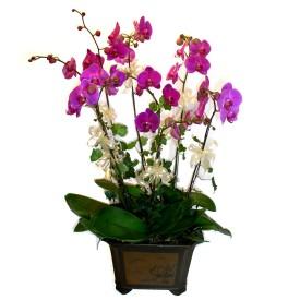 Ordu çiçek siparişi vermek  4 adet orkide çiçegi