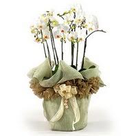 Ordu hediye çiçek yolla  3 dal orkide , saksi çiçegi , 3 kök orkide