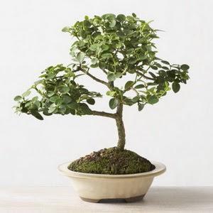 ithal bonsai saksi çiçegi  Ordu anneler günü çiçek yolla