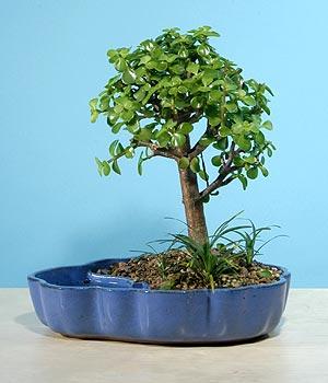 ithal bonsai saksi çiçegi  Ordu çiçek siparişi sitesi