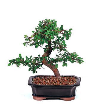 ithal bonsai saksi çiçegi  Ordu çiçekçiler
