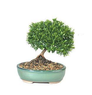 ithal bonsai saksi çiçegi  Ordu online çiçek gönderme sipariş