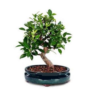 ithal bonsai saksi çiçegi  Ordu hediye çiçek yolla
