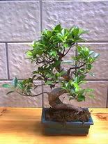 ithal bonsai saksi çiçegi  Ordu 14 şubat sevgililer günü çiçek