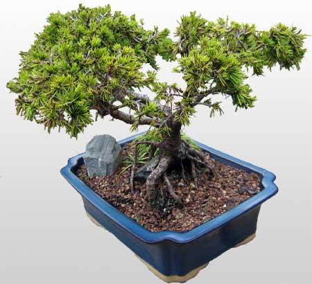 ithal bonsai saksi çiçegi  Ordu ucuz çiçek gönder