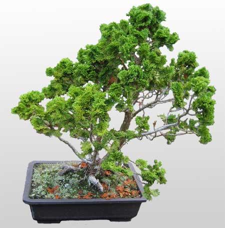 ithal bonsai saksi çiçegi  Ordu online çiçekçi , çiçek siparişi