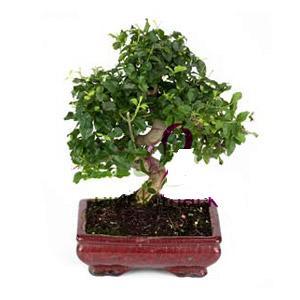 ithal bonsai saksi çiçegi  Ordu uluslararası çiçek gönderme