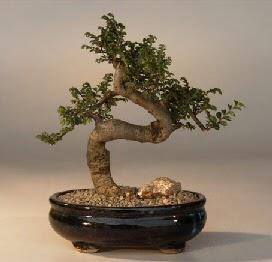 ithal bonsai saksi çiçegi  Ordu cicekciler , cicek siparisi