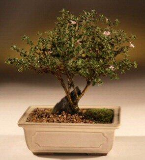 ithal bonsai saksi çiçegi  Ordu çiçek online çiçek siparişi