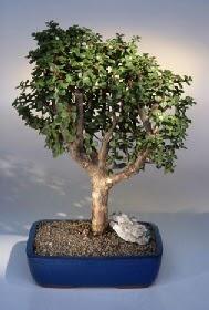 Ordu çiçek gönderme sitemiz güvenlidir  ithal bonsai saksi çiçegi  Ordu çiçek siparişi sitesi