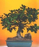 Ordu çiçek yolla  ithal bonsai saksi çiçegi  Ordu internetten çiçek satışı