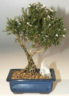 Ordu çiçekçi telefonları  ithal bonsai saksi çiçegi  Ordu internetten çiçek siparişi