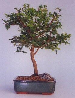 Ordu çiçek satışı  ithal bonsai saksi çiçegi  Ordu uluslararası çiçek gönderme
