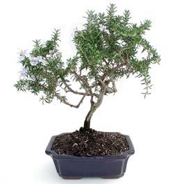 ithal bonsai saksi çiçegi  Ordu çiçek yolla