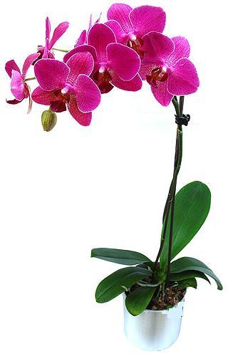 Ordu ucuz çiçek gönder  saksi orkide çiçegi