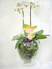 Ordu çiçek gönderme  Cam yada mika vazoda özel orkideler
