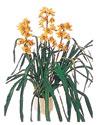 Ordu çiçek siparişi sitesi  Orchiede ithal büyük boy saksi