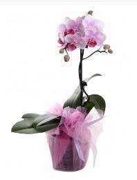 1 dal pembe orkide saksı çiçeği  Ordu çiçek servisi , çiçekçi adresleri