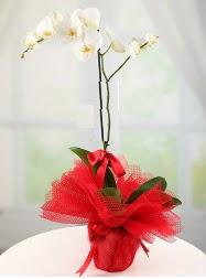 1 dal beyaz orkide saksı çiçeği  Ordu kaliteli taze ve ucuz çiçekler