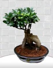 saksı çiçeği japon ağacı bonsai  Ordu çiçek servisi , çiçekçi adresleri