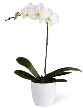 1 dallı beyaz orkide  Ordu cicekciler , cicek siparisi