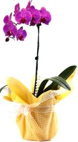 Ordu hediye çiçek yolla  Tek dal mor orkide saksı çiçeği