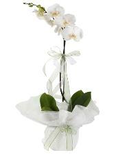 1 dal beyaz orkide çiçeği  Ordu çiçekçiler