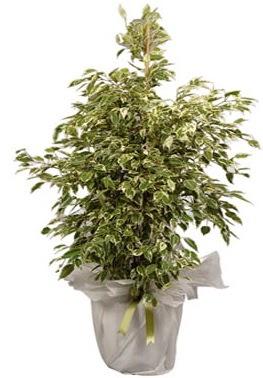 Orta boy alaca benjamin bitkisi  Ordu çiçekçi mağazası