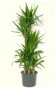 7 li yucca saksı bitkisi  Ordu hediye sevgilime hediye çiçek