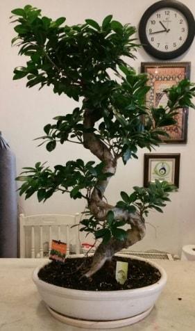 100 cm yüksekliğinde dev bonsai japon ağacı  Ordu online çiçekçi , çiçek siparişi