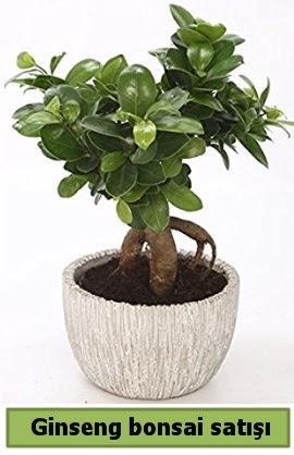 Ginseng bonsai japon ağacı satışı  Ordu çiçek yolla