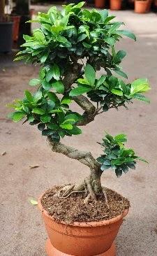 Orta boy bonsai saksı bitkisi  Ordu internetten çiçek satışı