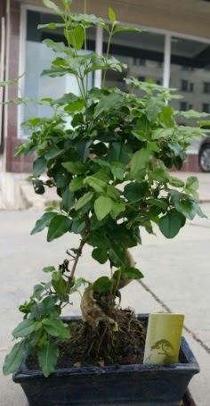 Bonsai japon ağacı saksı bitkisi  Ordu çiçekçiler