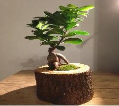 Doğal kütükte Bonsai japon ağacı satışı  Ordu çiçekçi mağazası