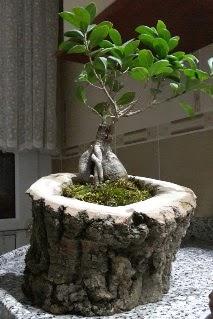 Ahşap kütük içerisinde ginseng bonsai  Ordu internetten çiçek satışı