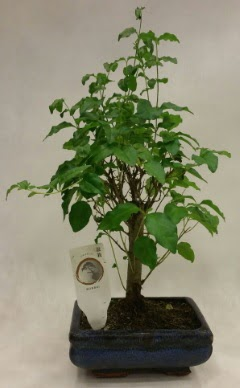 Minyatür bonsai japon ağacı satışı  Ordu çiçek yolla