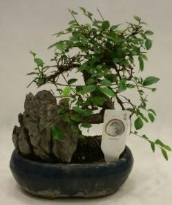 İthal 1.ci kalite bonsai japon ağacı  Ordu çiçek gönderme