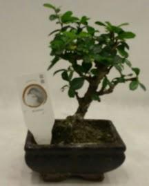 Küçük minyatür bonsai japon ağacı  Ordu çiçek gönderme sitemiz güvenlidir