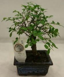 Minyatür ithal japon ağacı bonsai bitkisi  Ordu çiçek gönderme